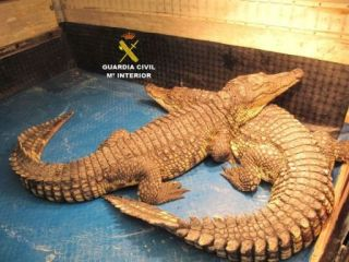 POTENTIALLY DANGEROUS CROCODILES SEIZED