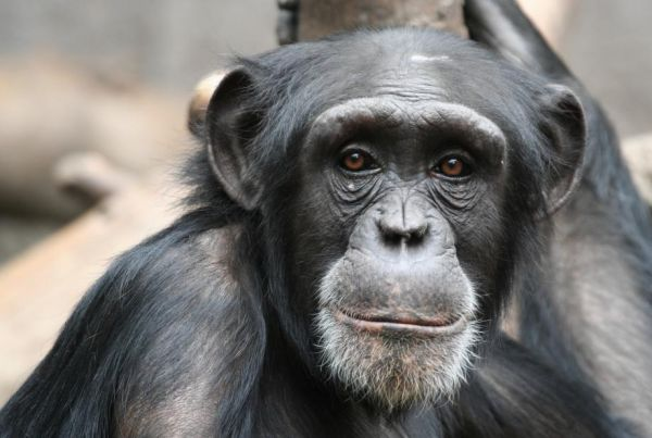 20150627 - Zoo Offers Detailed Explanation over Chimp Escape